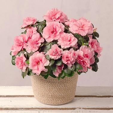 Pink Azalea in Jute Pot Delivery UK