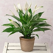 Peace Lily Plant Delivery to UK