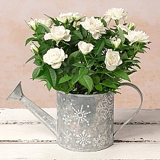 White Rose in Watering Can Delivery to UK
