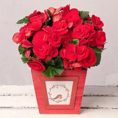 Christmas Begonia Delivery to UK