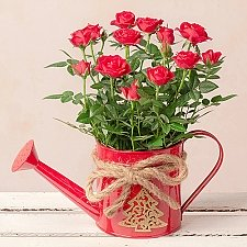 Christmas Rose in Watering Can Delivery to UK
