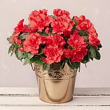 Red Azalea in Gold Pot Delivery to UK