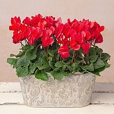 Red Cyclamen Duo Delivery to UK