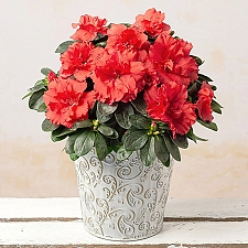 Festive Red Azalea delivery to UK [United Kingdom]