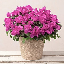 Purple Azalea Delivery to UK