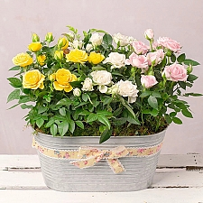 Spring Roses Planter Delivery to UK