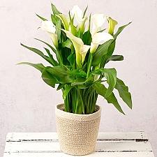 White Calla Lily Plant Delivery UK