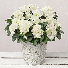 White Christmas Azalea Delivery to UK
