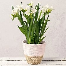 Freesia Plants Delivery to UK
