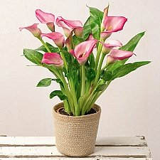 Pink Calla Lily Plant Delivery UK