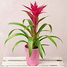 Pink Guzmania Plants Delivery UK
