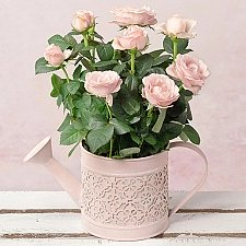 Pink Rose in Watering Can Delivery to UK