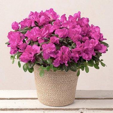 Purple Azalea Delivery to UK