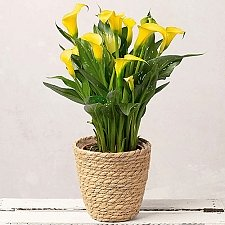 Yellow Calla Lily Delivery to UK
