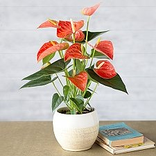 Coral Anthurium Delivery to UK