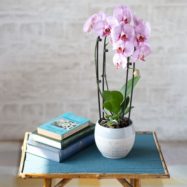 Cascade Phalaenopsis Orchid by Post delivery to UK [United Kingdom]