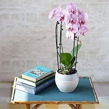 Cascade Phalaenopsis Orchid
