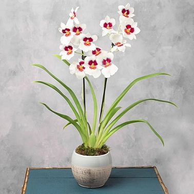 Miltonia Orchid in Ceramic Pot Delivery to UK