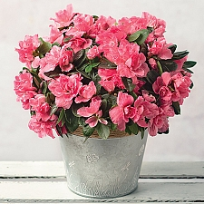 Pink Azalea with Zinc Pot Delivery to UK