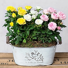 Summer Rose Planter by Post Roses delivery to UK [United Kingdom]