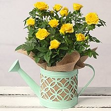 Yellow Rose in Watering Can Delivery to UK